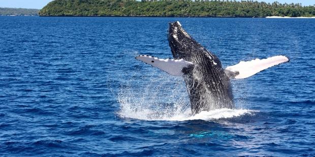 Whale watching Tonga Jane Jeffries